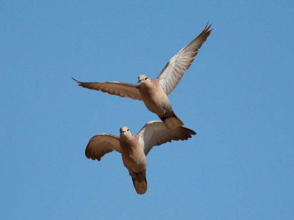 Eurasian Dove Hunt